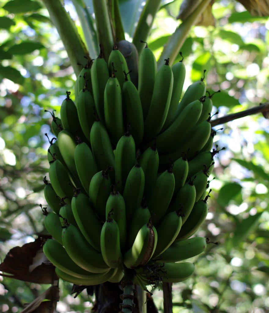 Bananas - Finca Sagrada © Mllepix